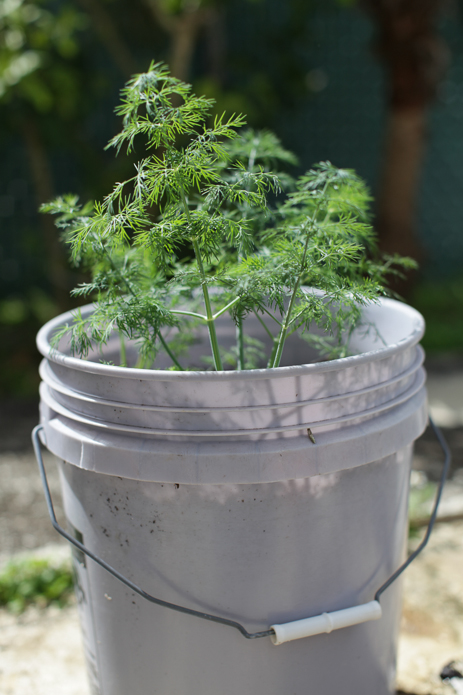 Container Dill plant