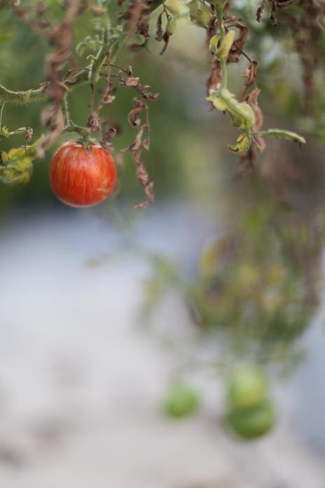 Red Zebra Tomato