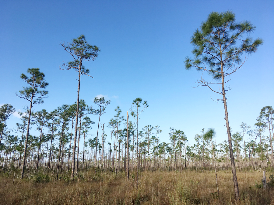 Long Pine Key in Everglades National Park